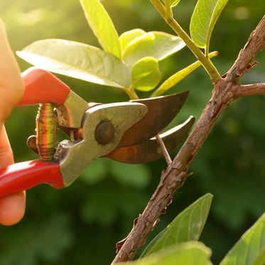 L'élagage des arbres fruitiers