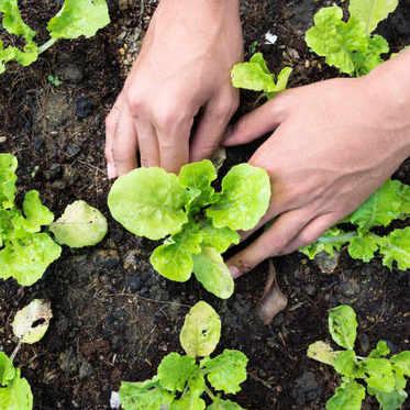 Le calendrier des semis de légumes