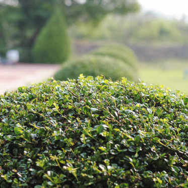Un jardinier professionnel pour la taille d'arbuste