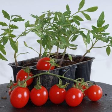 A quel moment planter vos plants de tomates