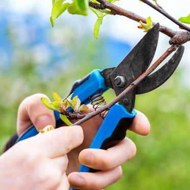 élagage arbre fruitier